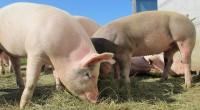 Après les maraîchers et les laitiers, c'est désormais au tour des éleveurs de porc de connaître la crise. Depuis le 10 août, certains industriels du secteur dénoncent un prix au […]