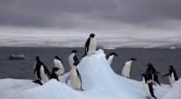 Une nouvelle étude nous rapporte que l'Antarctique pourrait bien perdre une grande partie de ses mythiques manchots d'Adélie en raison du changement climatique.