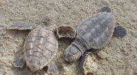 Vendredi 24 mars, le ministère des Eaux et forêts (ORMANSU) a mis en garde les entreprises qui mènent leurs activités dans les régions de Turquie où les tortues nichent.
