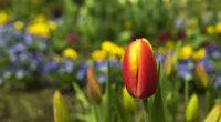 Le 31 mars, la Fête de la Tulipe a débuté dans la ville de Morges, située sur les rives du Lac Léman, afin de célébrer l'arrivée du printemps. Puis, le […]