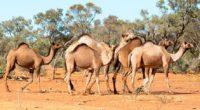Le gouvernement australien après avoir annoncé «une opération majeure de contrôle des troupeaux de dromadaires sauvages» a tué plus de dix mille d'entre eux par l'intermédiaire de snipers embarqués dans […]