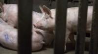 Un nouveau scandale vient frapper le milieu des abattoirs. Hier Le Monde a dévoilé une vidéo choc tournée dans l'abattoir intercommunal de Soule, petite ville dans les Pyrénées-Atlantiques. Les images […]