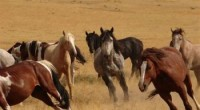 C'est dans la plus grande indifférence qu'aux États-Unis 45.000 chevaux sauvages risquent l'euthanasie.