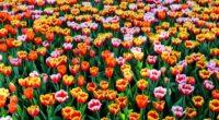 26 millions de fleurs d'été ont été plantées par la municipalité de Busra dans les jardins et parcs de la ville à l'occasion du printemps.