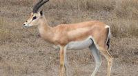 Des gazelles vont être relâchées dans les régions de Şırnak et deMardin, dans le sud-est de la Turquie.